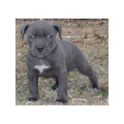 rote Nase Pit Bull Terrier