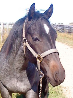 Quarterhorse Hengst 2 Jahre in blue roan