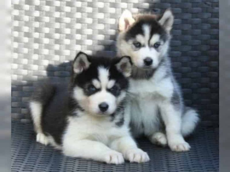 wolfshund welpen zu verkaufen