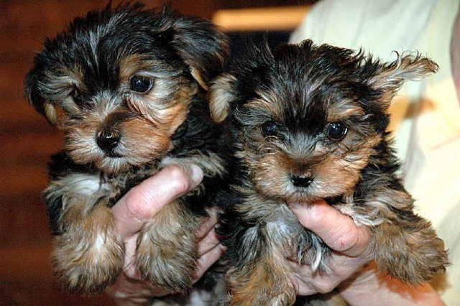 Sweet Little Yorkie Puppies they are Available Now.