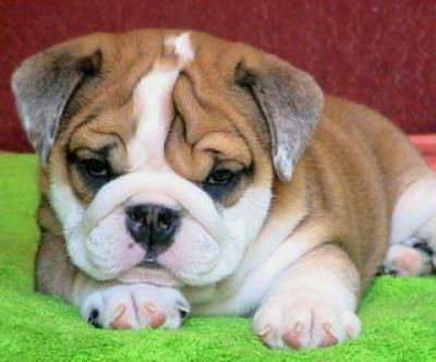 Exceptional AKC english bulldogs seeking new home